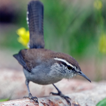 Bewicks Wren